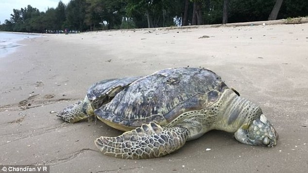 An endangered giant sea turtle was found dead by a jogger on a Singapore beach