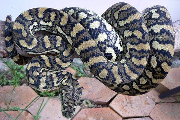 Image result for carpet python