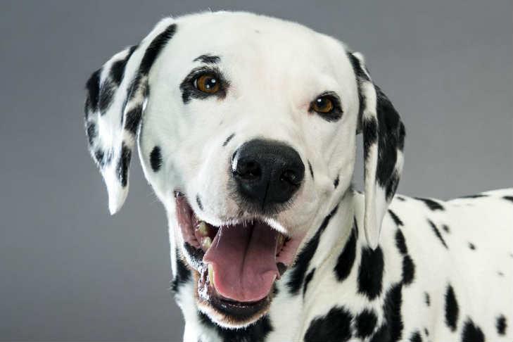 Resultado de imagen para dalmatian dog, in the toilet