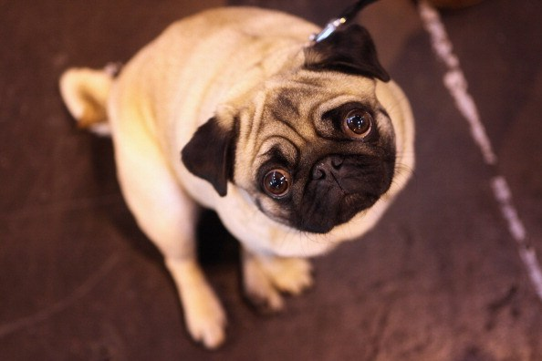 adorable little pug looking up