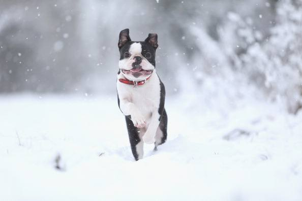 Freddy the Boston Terrier