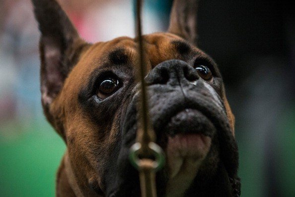 A boxer competes in the Westminster Dog Show