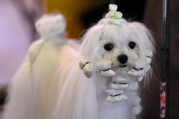 : A Maltese waits in the grooming area
