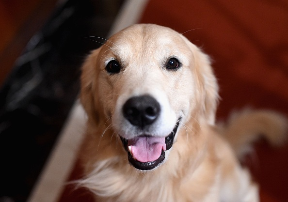 A Golden Retriever, the 3rd most popular breed of 2016,