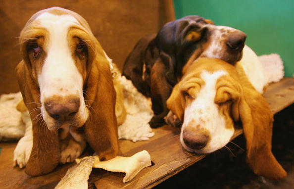 Three Basset Hounds rest on their bench
