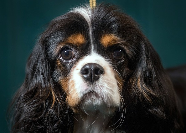 Mork, a 9-month-old Cavalier King Charles Spaniel dog
