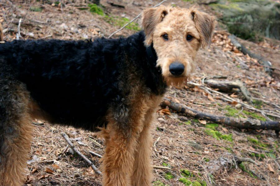 Airedale Terriers Now