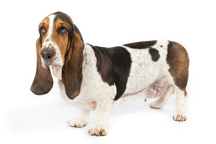 Image result for scent hound images