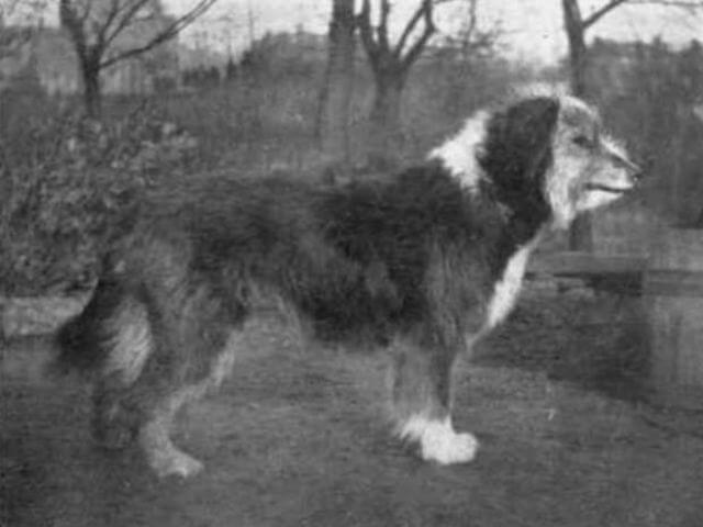 Bearded Collies Then