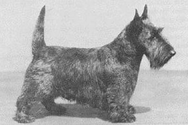 Scottish Terriers Then