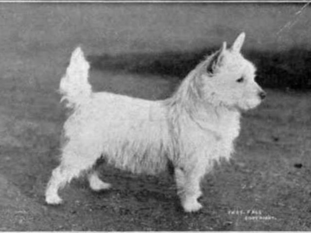 White Terriers Then
