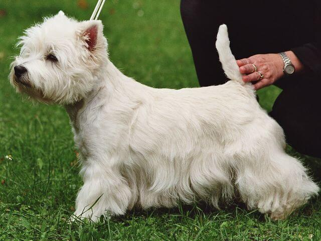 White Terriers Now