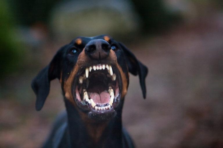 Image result for barking doberman