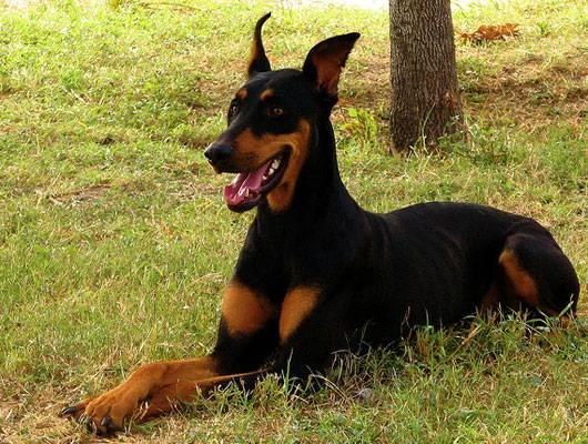 Doberman dog sitting on a field of grass