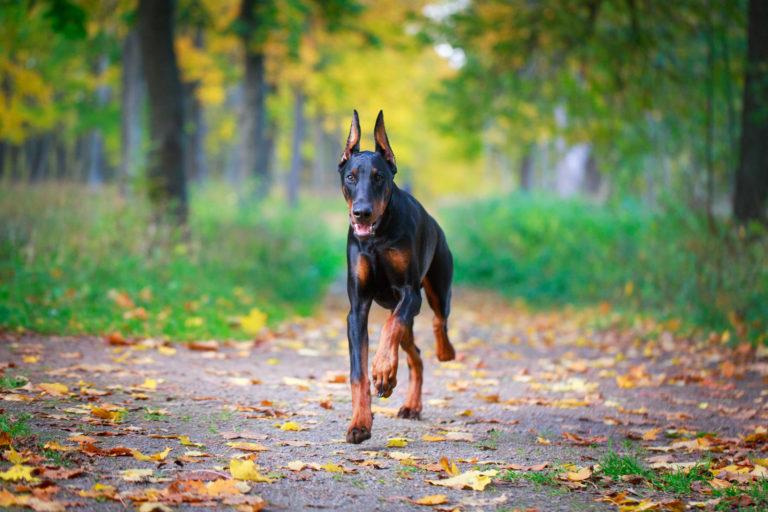 Happy Doberman dog running around the forest