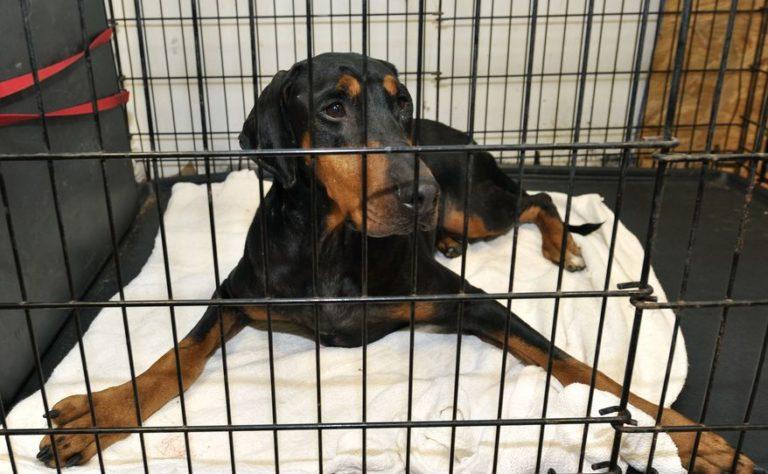 Large doberman inside a cage