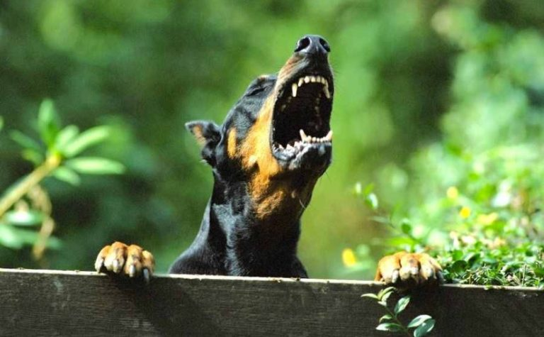 Doberman looking over a fence and barking