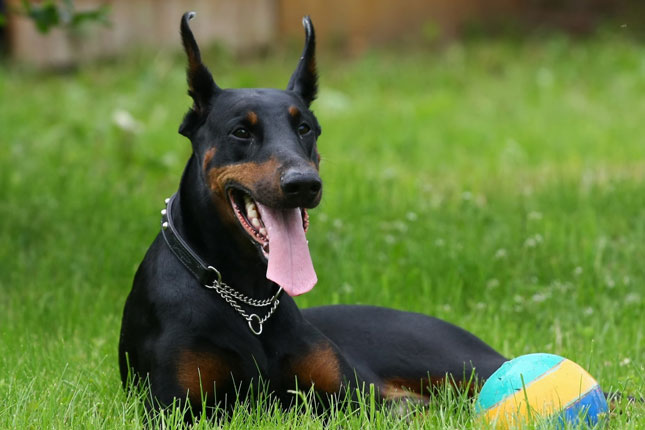Doberman with his ball sitting on the grass