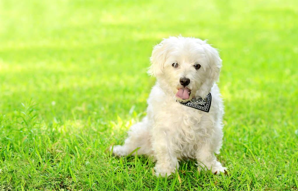 Image result for bolognese dog