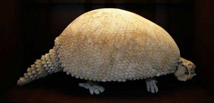 Glyptodont fossil