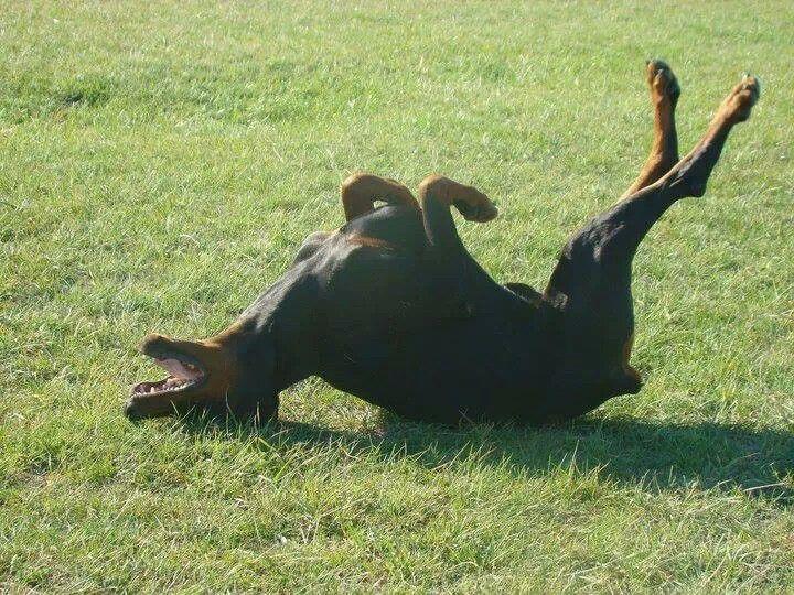 Image result for doberman sleeping in grass