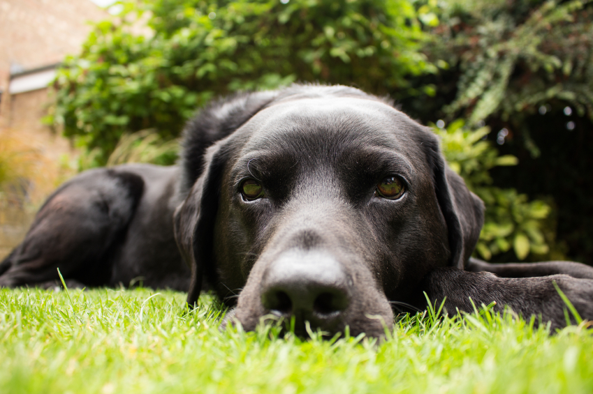 Image result for cataract in labradors