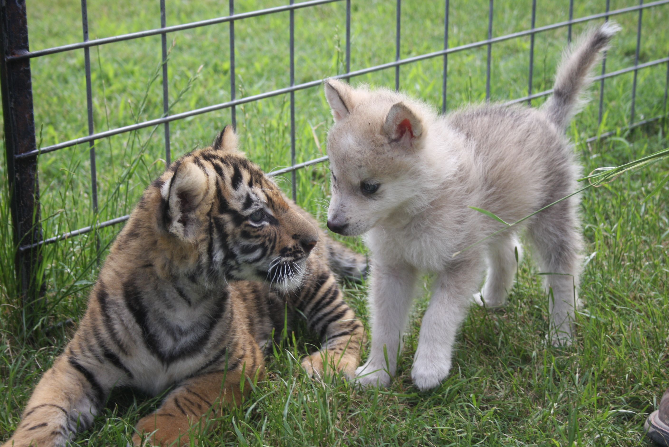 This Baby Wolf And Baby Tiger Became BFFs, Proving That Anything Is Possible!