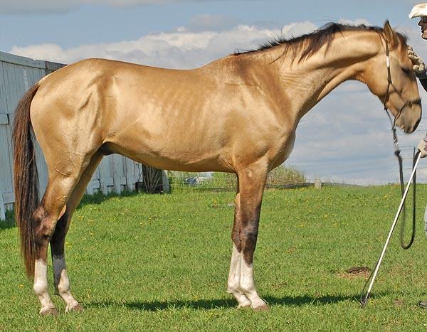 Image result for horse golden Akhal-Teke