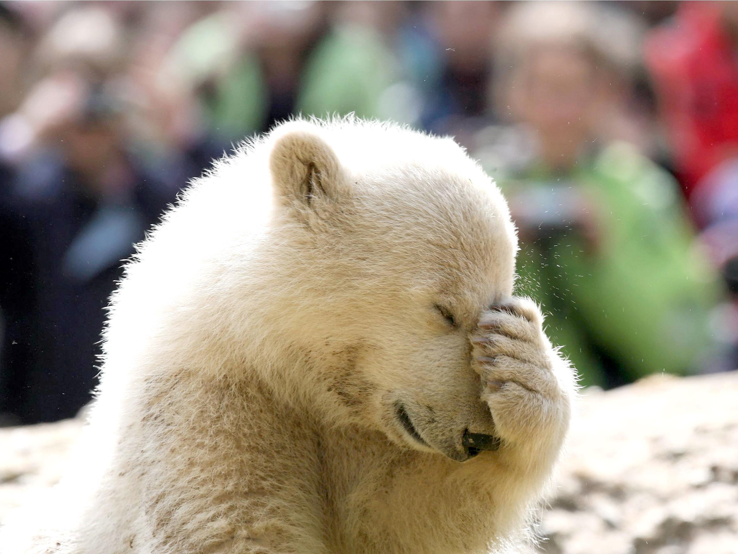 наверно очень прикольное необычное фото медвежат носит пошаговых
