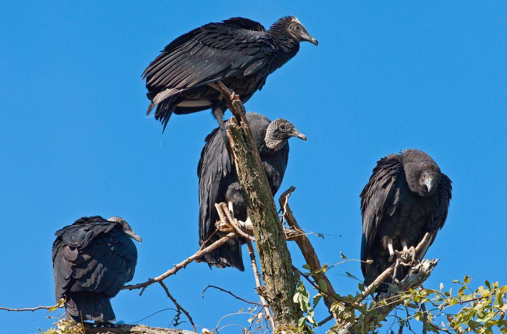 Image result for vultures