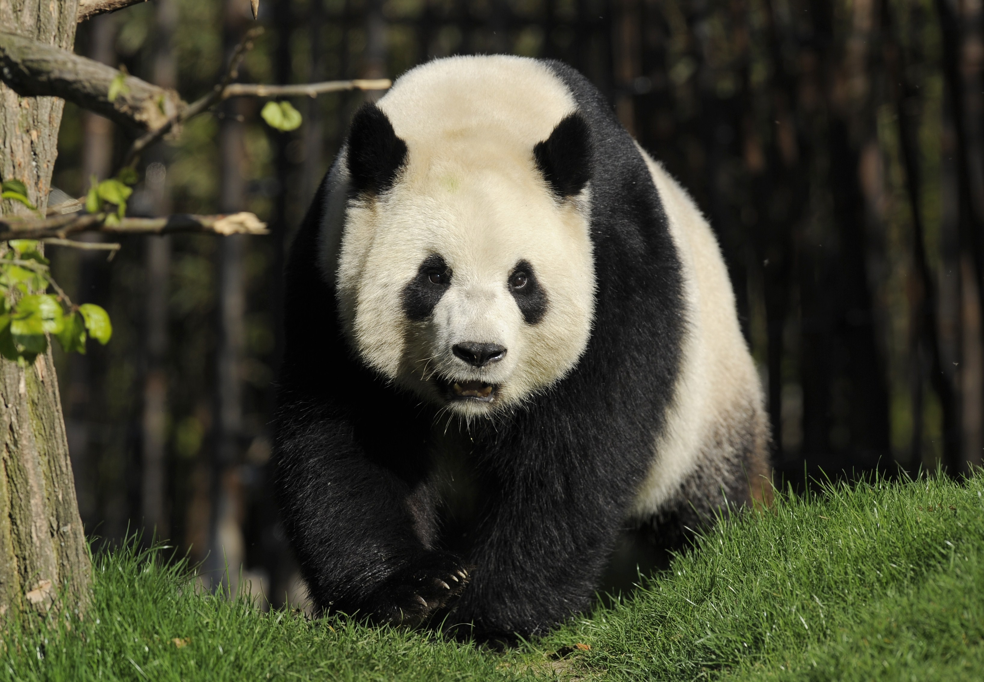 Find Out Why This Giant Panda Giving Birth Left The Zookeepers So Emotional!