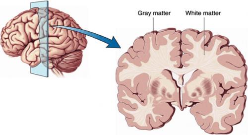 Image result for gray matter brain diagram