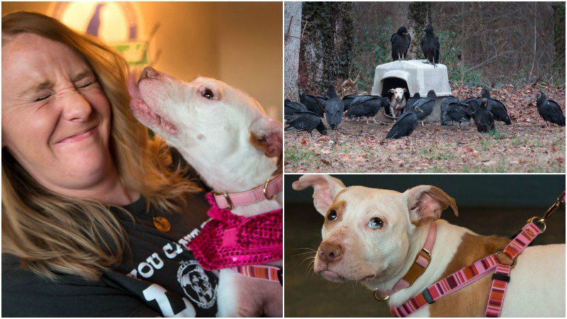 Image result for lilo the pit bull