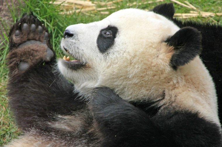 Giant panda bear (Ailuropoda Melanoleuca), China