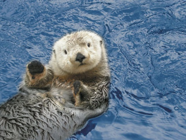 sea otters can be curious