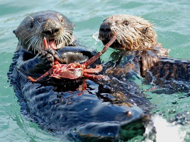 dangerous sea otter