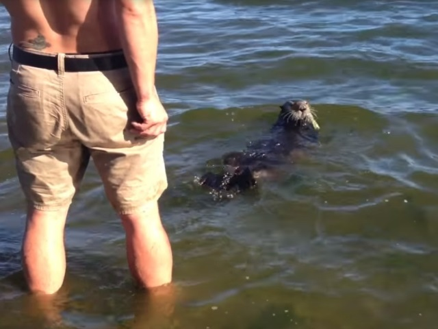 sea otter retreating