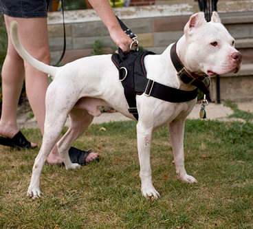 Image result for dogs harness pit bull white